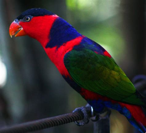 file lorius lory bali bird park 4 jpg