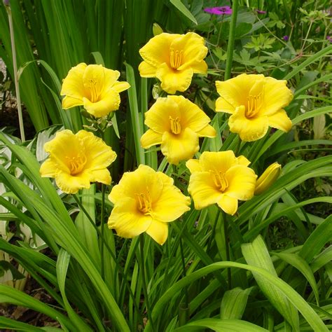 planted flower bulbs perennials for sale buy in