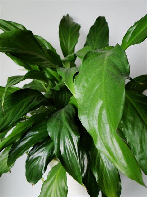 Zimmerpflanzen Bilder Und Namen by Pictures Of House Plants And Their Names