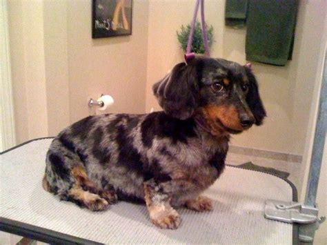 long haired dachshund grooming styles picture friends