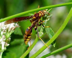 Red Wasps and Hornets