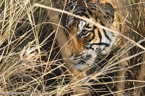 wild cats endangered most india