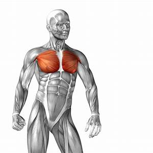 Pectoralis Major Muscle Diagram Free Download