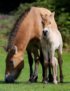 wild extinct horse rare breed born foal kent declared horses dailymail species once which przewalski thanks represents 1970s fresh start