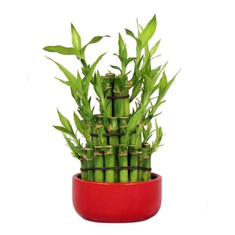 entretien bambou en pot 28 images cultiver un bambou en pot bambou d int 233 rieur extase