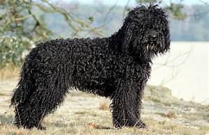 Barbet Dog - Breeders, Puppies and Breed Information ...