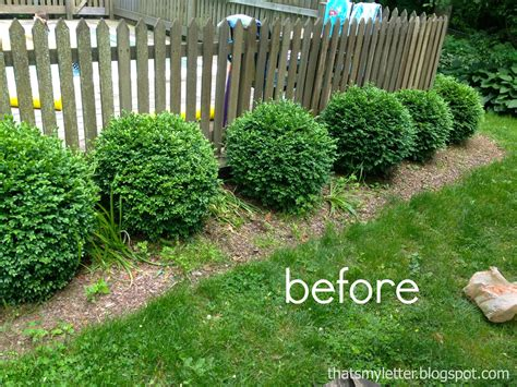 when to prune boxwood boxwood hedge www imgkid com the image kid has it