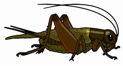 Cricket Clipart Bug Insect Bugs Clip Field