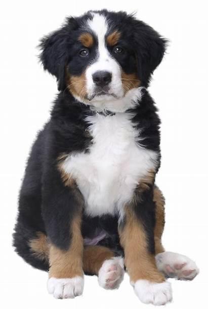 Dog Transparent Puppy Clipart Bernese Mountain Pet