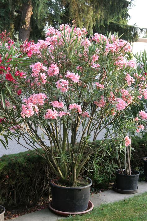 oleander im topf oleander umtopfen mein sch 246 ner garten