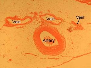 Histology Of Blood Vessels