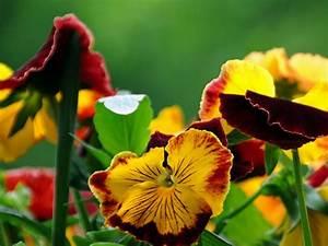 Blumen Für Schattige Plätze : sommerblumen die sommerblume ~ Michelbontemps.com Haus und Dekorationen