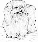 Coloring Apso Lhasa Printable Dog Kolorowanki Kleurplaat Hond Breed Maltezer Colorir Kolorowanka Druku Desenhos Colorear Dibujos Dla Dzieci Kleurplaten Desenho sketch template