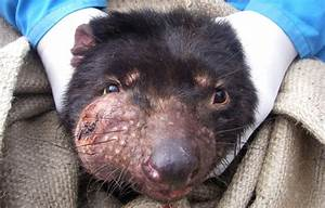 Tasmanian devil disease reveals its secrets | Science News