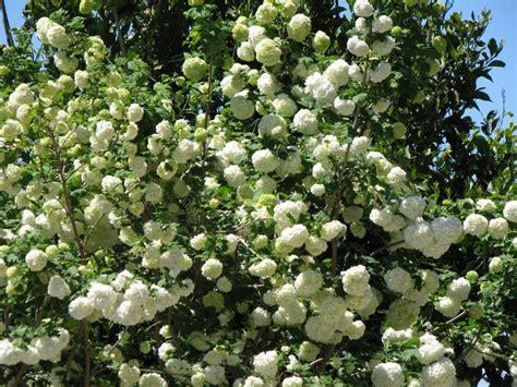 Gefüllter Schneeball, Viburnum Opulus 'roseum