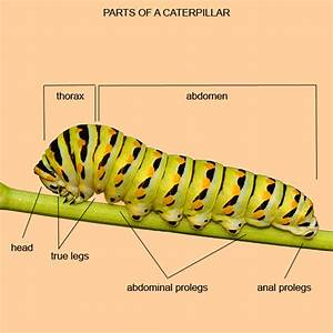 Monarch Caterpillar Diagram
