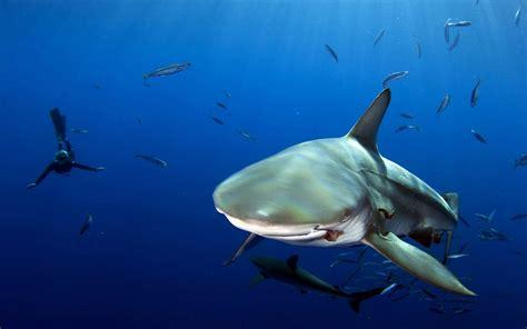 Ocean Shark Water Fish Scuba Diver Depth Desktop Wallpaper HD Wallpapers Download Free Images Wallpaper [1000image.com]