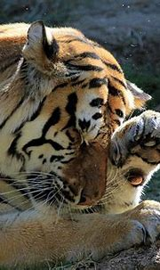 Bengal Tiger rubs eye | There's something in my eye | Flickr