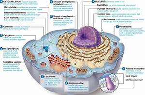 Christian Revolution  Animal Cell Diagram With Labels And