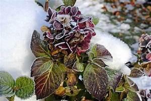 Sind Hortensien Winterhart : die meisten hortensien sind winterhart 3 ~ Lizthompson.info Haus und Dekorationen