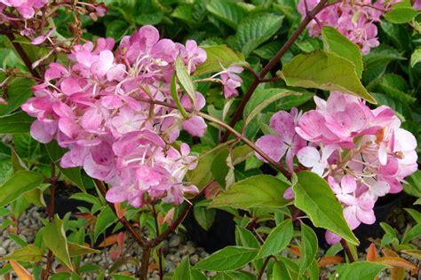 hydrangea paniculata vanille fraise 174 hortensia panicul 233 vanille fraise p 233 pini 232 re en ligne