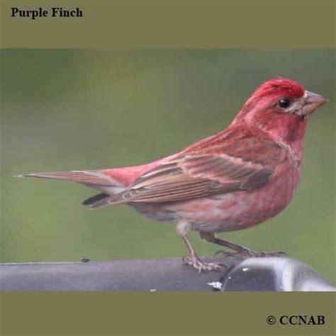 finches north american birds birds of north america