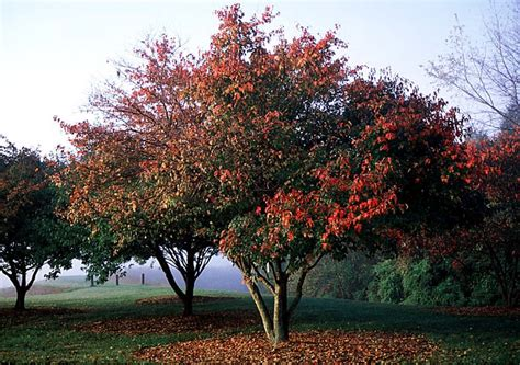 amur maple beechwood landscape architecture and construction amur maple featured plant of the day