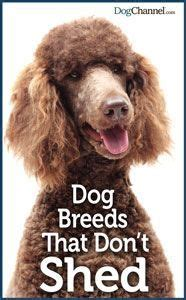 breeds that dont shed uk 25 best ideas about shedding remedies on