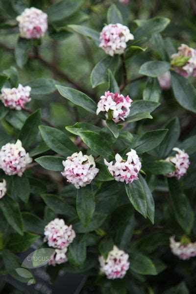Daphne Odora 34'h Requires Acidic, Welldrained Soil
