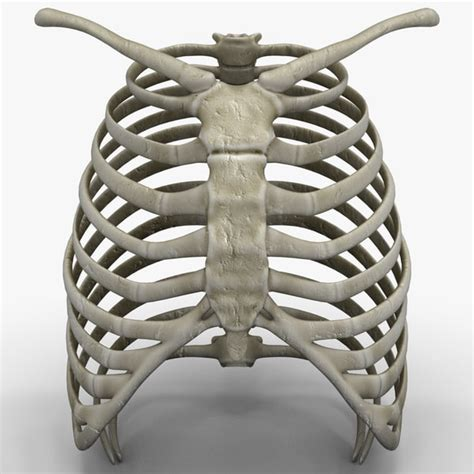 Start studying anatomy under rib locations. rib cage 3d c4d