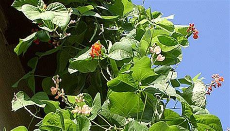 feuerbohnen pflanzen als sichtschutz und zum ernten