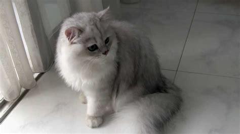 chinchilla cat silver shaded chinchilla cat