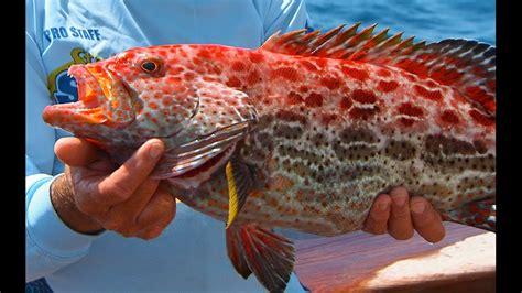 grouper strawberry yellowfin fishing key west