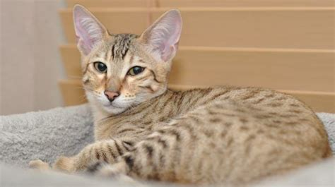 expensive cat breeds most savemoreanimals kittens why