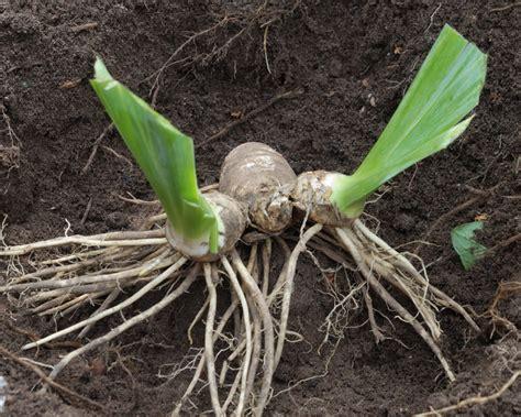 bienen niedrigere klassifizierungen wurzelstock der pflanzen taglilien pflanzung pflege vermehrung versand sch dlinge veilchen m