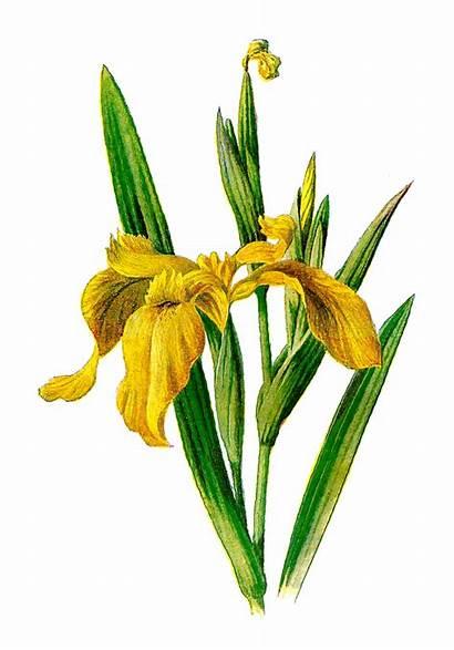 Flower Iris Wildflower Yellow Illustration Clipart Clip