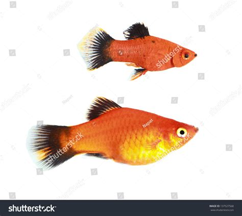 molly fish isolated  white stock photo