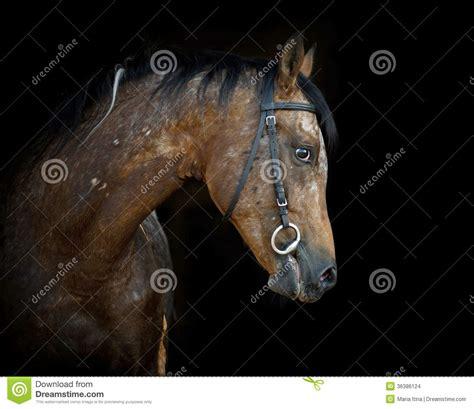 appaloosa stallion close