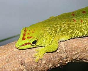 Giant Day Gecko Care and Natural History