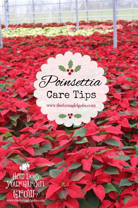 caring for poinsettias great tips on how to care for poinsettias poinsettia symbolic of the christmas season on the