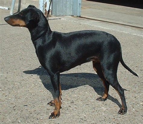 Non Shed Dogs Medium by Manchester Terrier Wikipedia