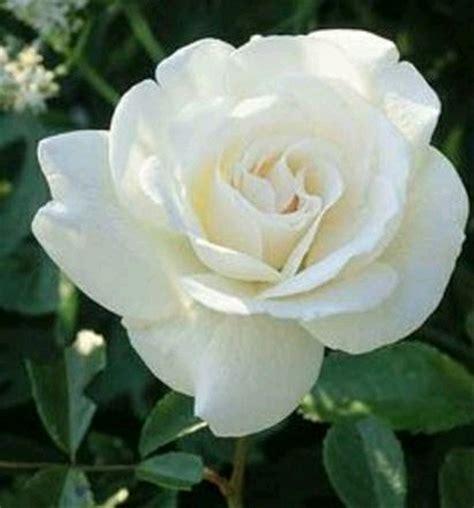 jual tanaman bibit bunga mawar putih lapak desi farm