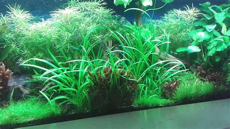 aquarium pflanzen düngen pflanzen aquarium