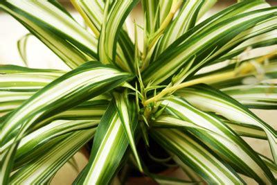 Giftige Zimmerpflanzen Für Katzen by Giftige Und Ungiftige Pflanzen F 252 R Katzen Liste