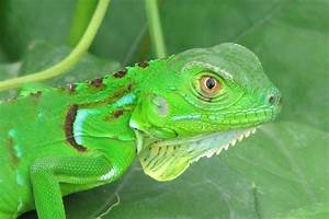 Iguana verde (Green iguana/Blue diamond iguana) | Project Noah