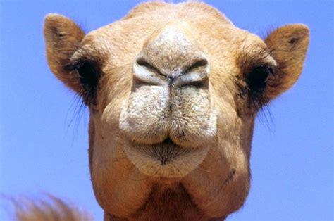 Camel Images Camal Pics Impremedia Net