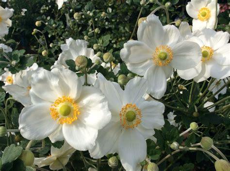 Garten Herbst Anemone by Herbst Anemone Weiss