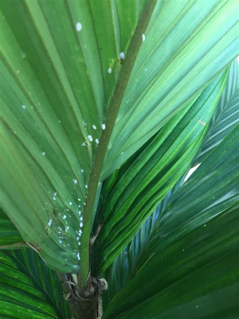 white spots discussing palm trees worldwide palmtalk