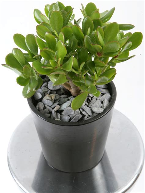 grow ls for indoor plants 25 best ideas about money tree plant care on