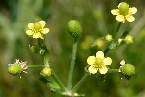 Ranunculus sceleratus subsp. sceleratus